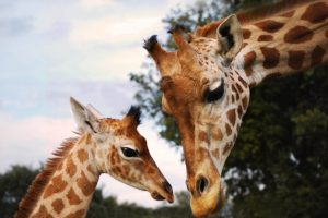 deux tetes de girafes